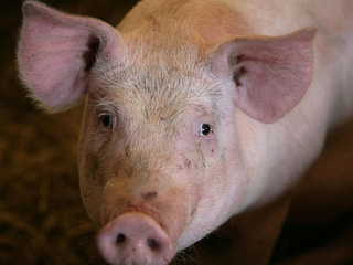 File photo of a pig_20100622145040_JPG