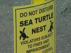 Record turtle nesting season on Florida beaches