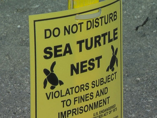 Record turtle nesting season on Florida beaches
