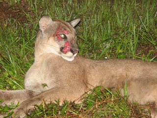 Florida panther hit by car_20100804113228_JPG