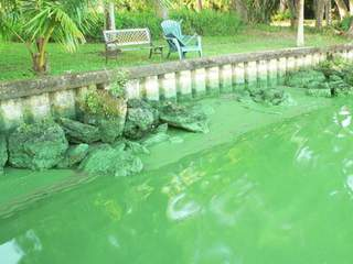 Microcystis bloom in Caloosahatchee River