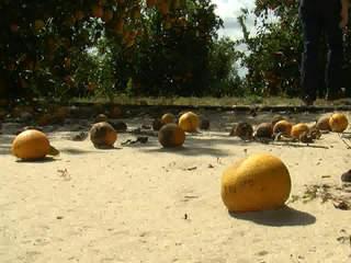 Disease takes toll on Fla. orange crop
