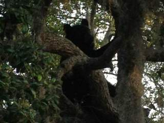 Black bear spotted in Tampa tree, officials responding