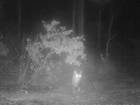 NIGHT VISION: Cat almost becomes gator's meal