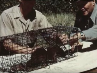VIDEO: Historic footage of parachuting beavers