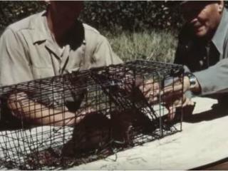 VIDEO: Historic footage of parachuting beavers