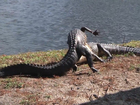 Gator fight caught on video in Clearwater
