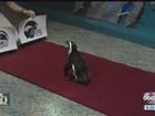 Tampa penguin predicts winner of Super Bowl 50