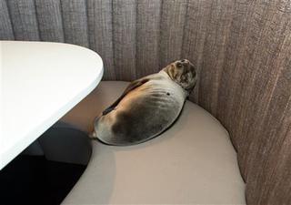 Starving sea lion found in San Diego restaurant