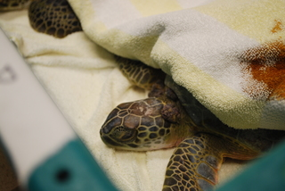 Sea turtles affected by cold in need of rescue