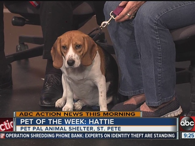 Pet of the week: Hattie the Beagle mix needs a forever family
