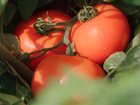 Tomato farm fined for paying guest workers more