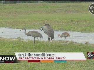 FWC investigates dead Sandhill Crane in Trinity