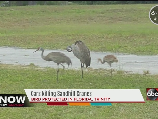 Cars killing sand hill cranes