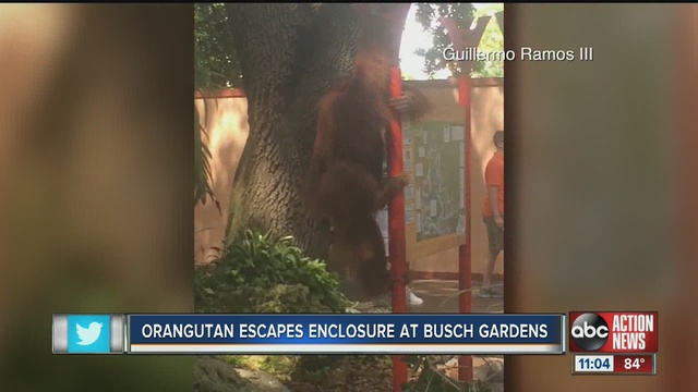 Orangutan On The Loose Inside Busch Gardens Wfts Tv