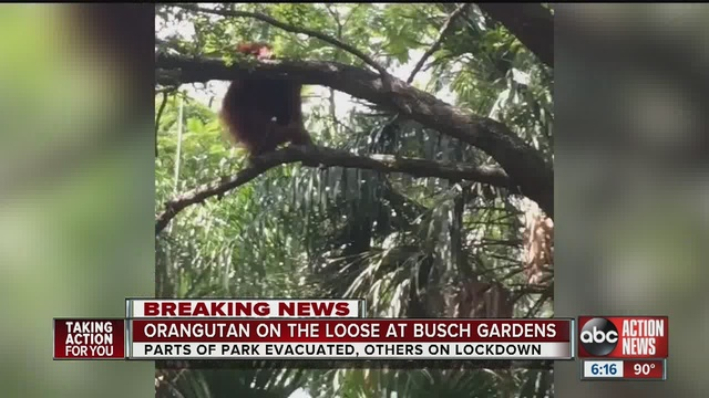 Orangutan On The Loose Inside Busch Gardens