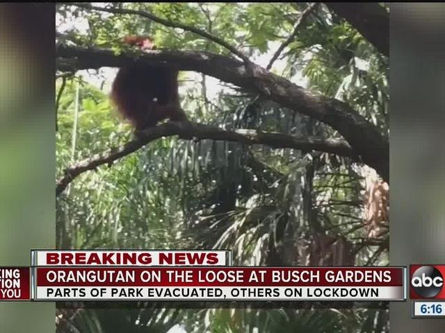Orangutan On The Loose Inside Busch Gardens Story