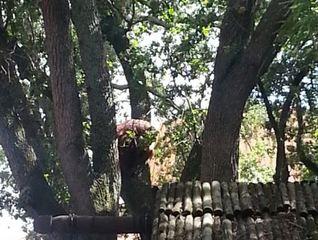 Orangutan escapes in Busch Garden