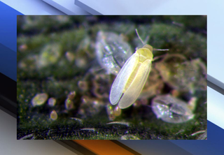 Invasive insect reported in Pinellas County