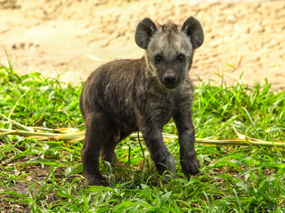 Baby hyena makes his debut at Busch Gardens