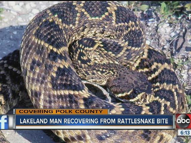 Polk man bit by rattlesnake, but used to pain