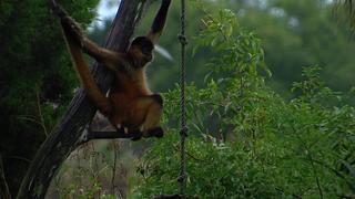 Monkeys on Monkey Island prepare to hunker down