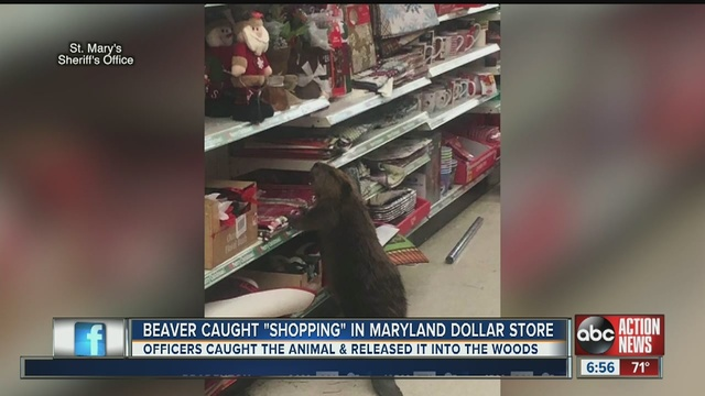 a beaver was caught christmas shopping in a dollar general store in maryland the st marys county sheriffs office tweeted photos of the beaver looking at