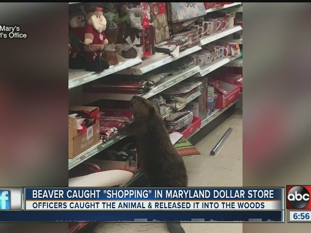 Beaver caught Christmas shopping in Dollar Store in Maryland