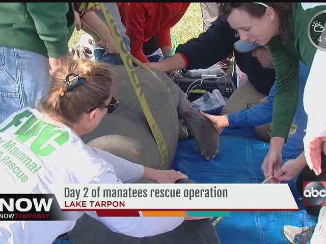 Day 2 of manatees rescue operation