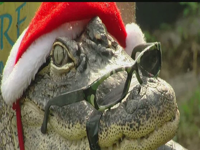 Florida Woman's Pet Alligator Will Be All Hers for Christmas