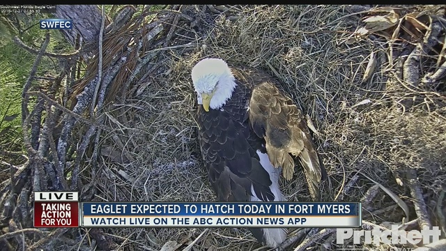 HATCH WATCH! 'Eagle Cam' streaming bald eagles hatching live