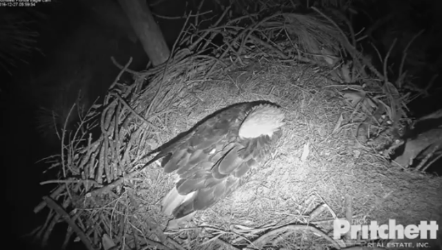 EAGLE CAM: Harriet and M15 await hatching of 2 eggs