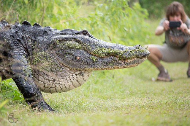 Dinosaur-Size Alligator Cruises Just A Few Feet From Photographers