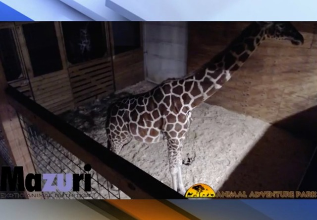 Giraffe cam to capture calf's birth