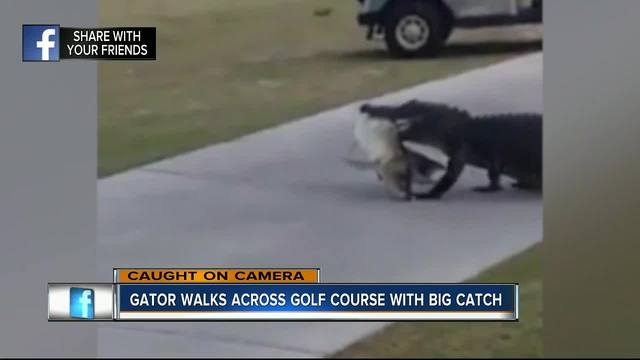 Watch alligator, with big fish in mouth, strut across golf course