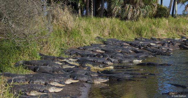 American Alligators Alligator Mississippiensis Deep Hole Myakka River State Park Florida Usa