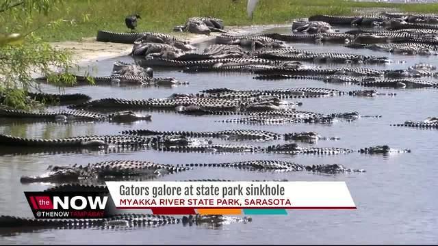 Gators Galore At Myakka River State Park In Sarasota Florida