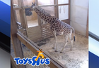 New giraffe calf will be a Toys 'R' Us kid