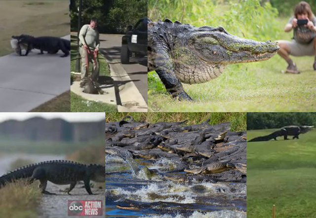 Some Alligators Look For Love In All The Wrong Places Gator Mating Season Is Heating Up