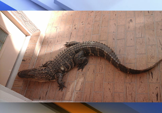 Gator crawls up to Florida resident's front door