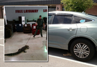 Deputies drag alligator through furniture store