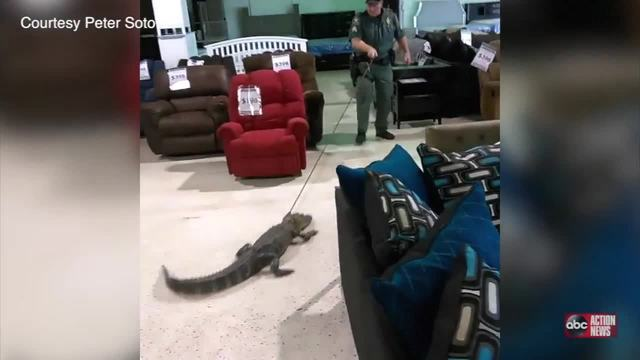 Alligator Returned to Water Through a Furniture Store