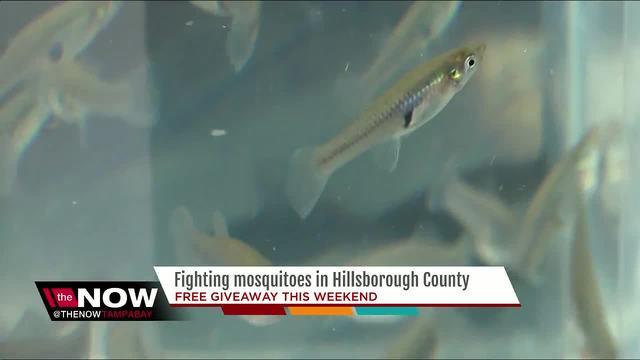 Gambusia Mosquito Fish Living Pack Of 12