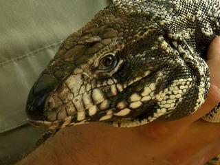 Giant lizard invades Tampa, devours wildlife