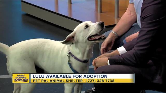 Pet of the week- 2-year-old Lulu is a gentle girl seeking a home after…