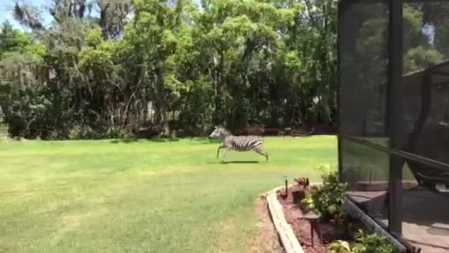 Zebra captured after running wild in Wimauma