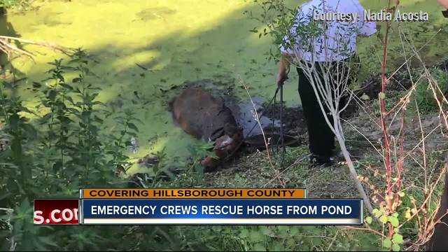 Florida rescue crews pull horse from thick mud in Hillsborough County