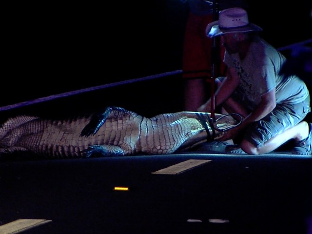 Alligator in Critical Condition After Getting Run Over By Motorcycle in Florida