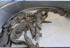 FWC: Undercover gator farm leads to 9 arrests