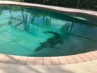 VIDEO: Alligator removed from Florida pool